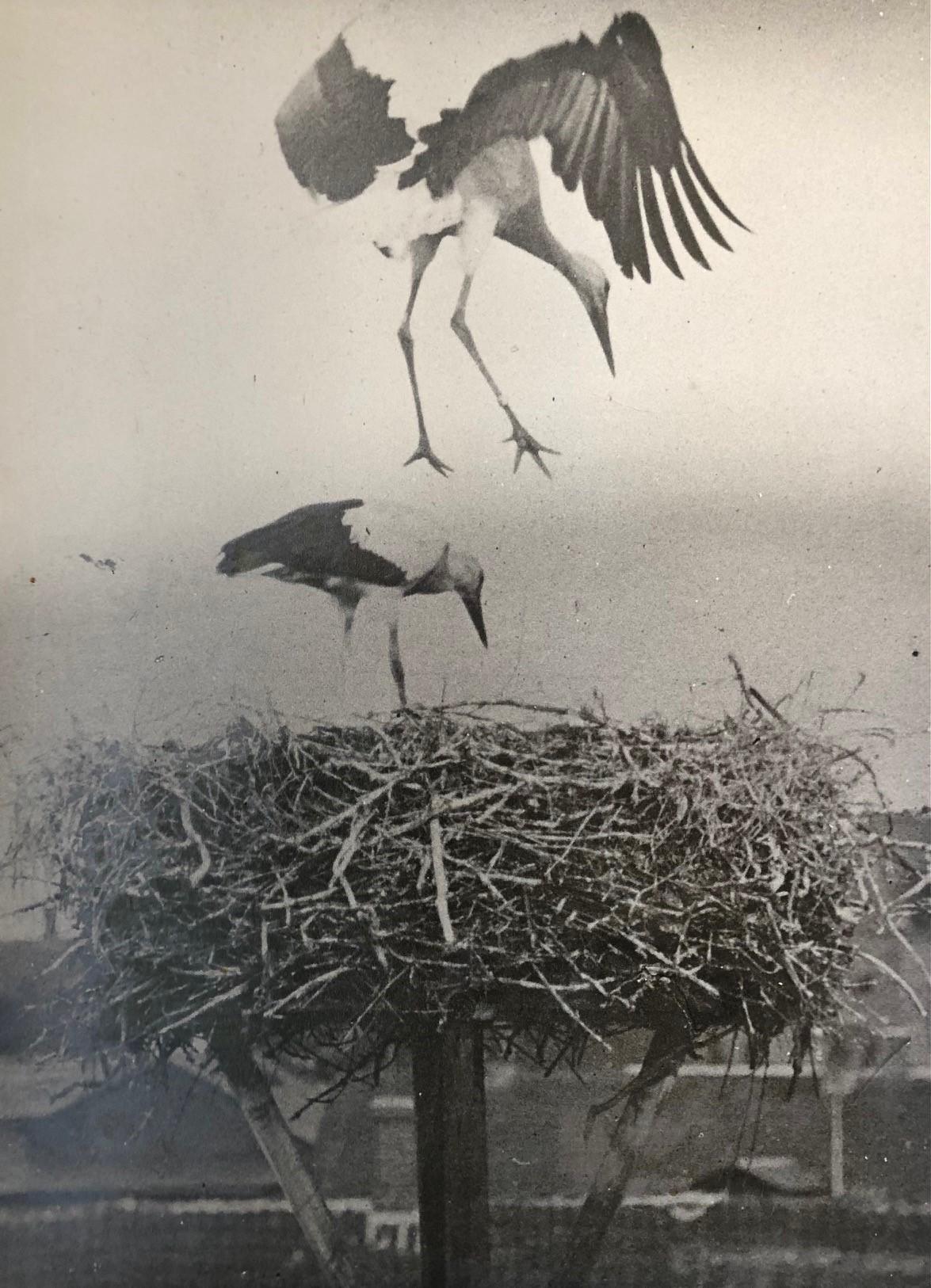 Storkereden på Skærum Mølle